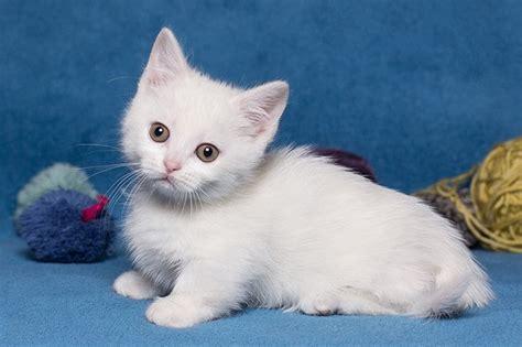 Short leg cat