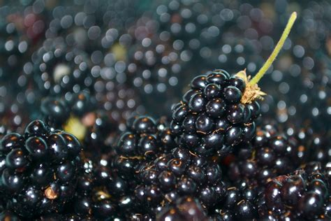 fresh blackberries free fresh blackberries 2 stock photo freeimages com