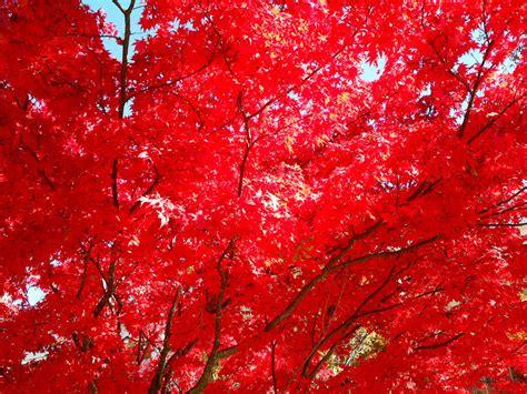 Red Leaves of Fall by SenbonGirl7 on DeviantArt