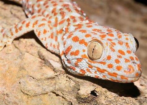 gecko lizard gecko wildlife the wildlife