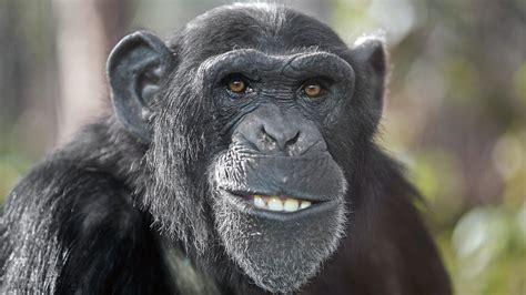 primaten warum schimpansen staerker sind als menschen