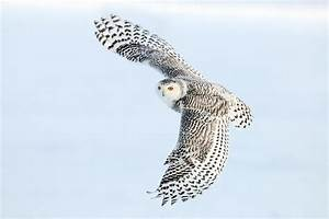 Snowy Owl Wallpapers Pictures | One HD Wallpaper Pictures ...