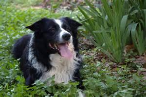 blue heeler border collie dog breeds picture