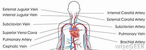 What Is The Cephalic Vein   With Pictures