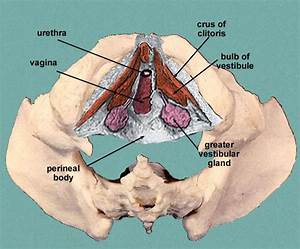 pelvis - Anatomy 2017 with Sloz at John A. Burns School of ...