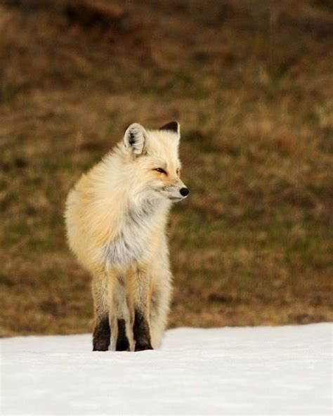 pin  lyrkanea  fox  images cute animals
