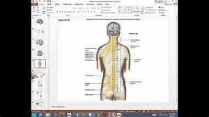Spinal Nerves  Plexuses  Autonomic Nervous System A U0026p Feb
