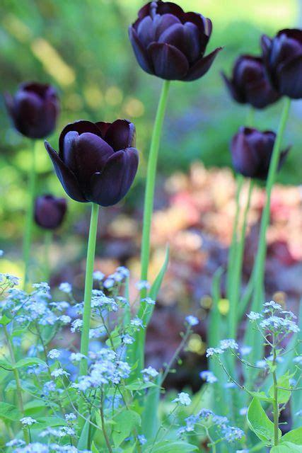 Black Queen of the Night Tulips