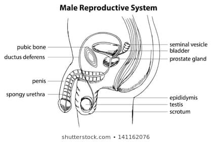 pictures labeled male reproductive system diagram