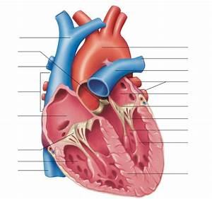 32 Label The Heart Quizlet