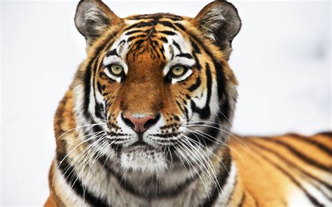 Free Scenery Wallpaper – Includes a Siberian Tiger, Much ...