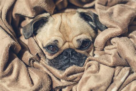 Camo Pug Its A Blanket Wait And A Pug Matt Wiebe Flickr