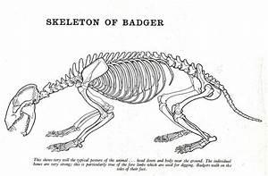 Badger Skeleton