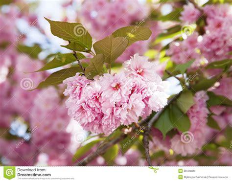 Sakura Cherry Blossom Branch Royalty Free Stock Image