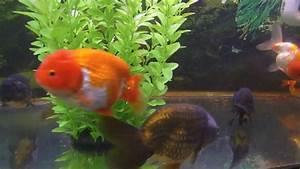 Attack of the Cuteness! Ranchu & Lionhead Goldfish らんちゅう ...