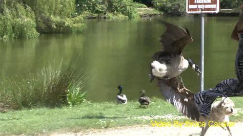 goose dog attacks mother