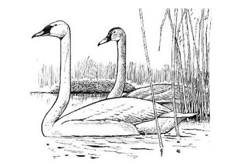 ausmalbilder schwan malvorlagen ausdrucken