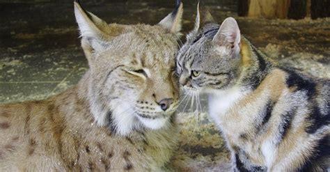kitten lynx into cat littlethings zoo russia tears wanders