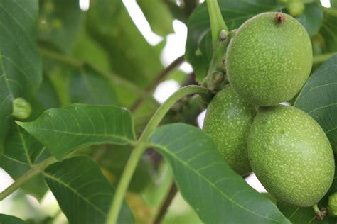 Walnussbaum Im Garten Pflanzen