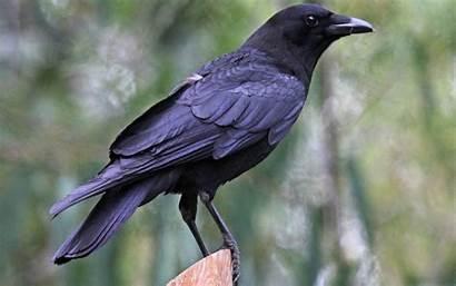 Crow Bird Crows Wallpapers Backgrounds Desktop Month