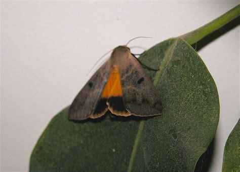 owl moths subfamily catocalinae