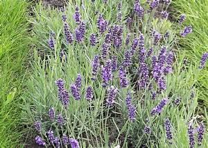 Pflege Von Lavendel : niedriger lavendel lavendula angustifolia 39 hidcote blue ~ Lizthompson.info Haus und Dekorationen