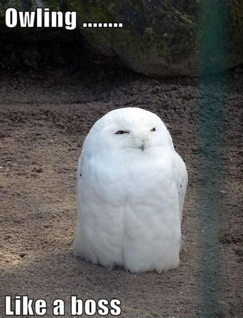 White Owl Meme - 20 hilariously adorable owl memes