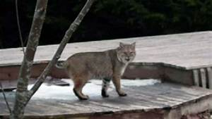 N S  Couple Shocked To Find Large Bobcat In Backyard