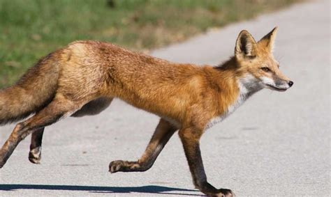 red foxes common   kansas cities  towns news morning sun pittsburg ks
