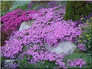 Couvre Sol Vivace : les plantes couvre sol plantes pour combler les espaces vides ~ Premium-room.com Idées de Décoration