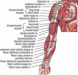 Upper Extremity Muscles Anterior View Deep Dissection