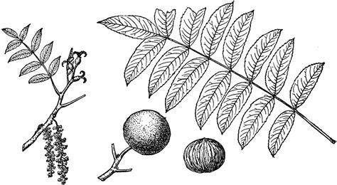 black walnuts clipart clipground
