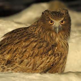 Blakiston's Fish-Owl | BirdNote