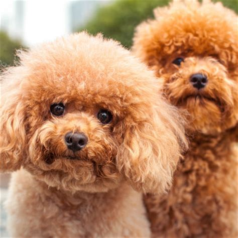 non hypoallergenic dogs non allergenic dogs breeds picture
