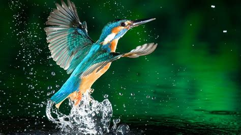 Kingfisher Bird Fisherman Hd Wallpaper Download For Mobile