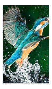 Kingfisher Bird Fisherman Hd Wallpaper Download For Mobile ...