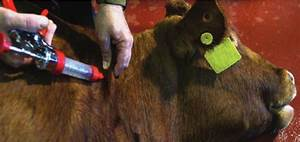 Injection Site Bqa Tips At Calf