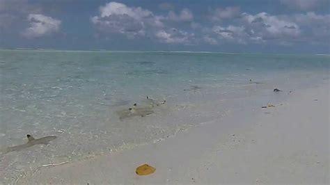 haie  strand malediven sun island resort youtube