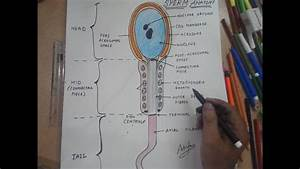 How To Draw Sperm Structure     1
