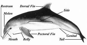 Artist U0026 39 S Rendering Of A Bottlenosed Dolphin Showing The Body Parts