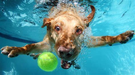 wallpaper labrador dog underwater cute animals funny