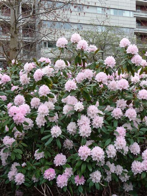 arbuste persistant paris c 244 t 233 jardin