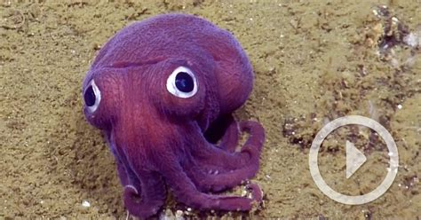purple cuttlefish  comically giant googly eyes
