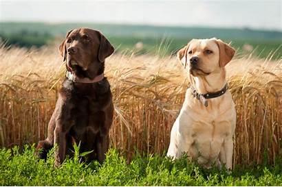 Labrador Retriever Desktop Wallpapers Computer Save Animals