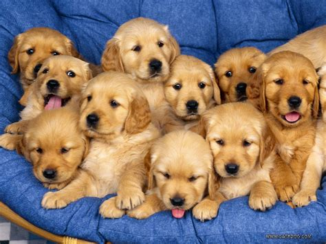 Golden Retriever Puppies Funny Animal
