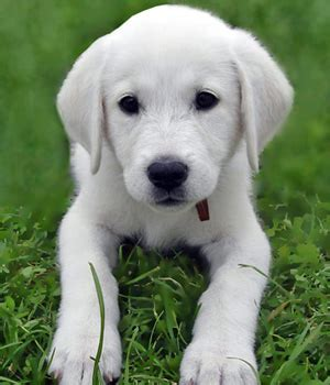 small white non shedding breeds a to z list of breeds breed plus