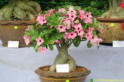 Bonsai Trees For Sale , Indoor Bonsai Trees , Bonsaisindia