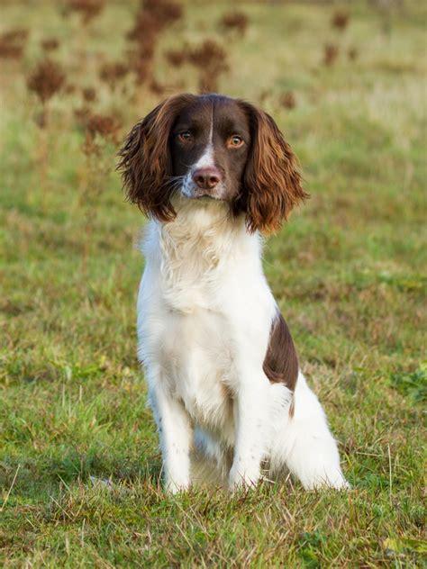 Springer Spaniel Non Shedding by Black And White Springer Spaniel Dogs Breeds Picture