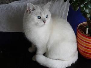 British Shorthair -Fantastic Pet Encyclopedia, UK