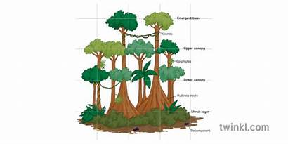 Rainforest Structure Diagram Ecosystem Plants Labelled Trees